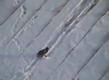 This Sled-Riding Crow Couldn't be Happier It Snowed