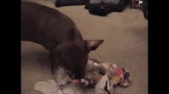Dogs Open Christmas Presents--So Funny!