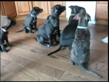 The World's Most Patient Puppies Wait for Their Meal