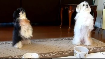 Two Cute Doggies Give Thanks Before Chowing Down - Aww
