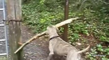 Dogs Have Trouble with Sticks!  So Cute!