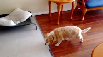 Busted Doggie Has the Guiltiest Walk Ever!