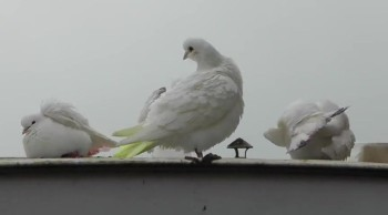 Doves Washing in the Rain :-)