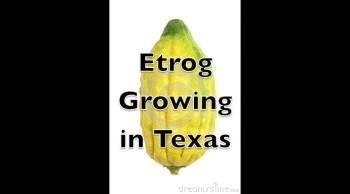 Etrog Citron Tree Growing in Texas