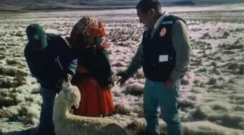 """Hosea Prophecy"" 171,000 Dead Alpacas In Peru"