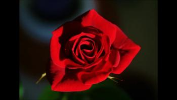 The Rose of Dublin