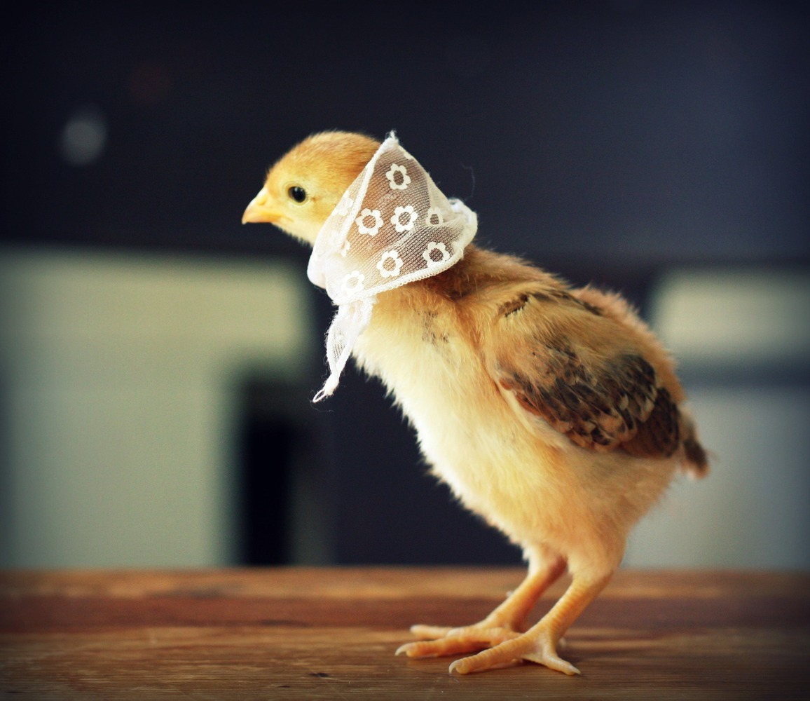 Bonnet chick