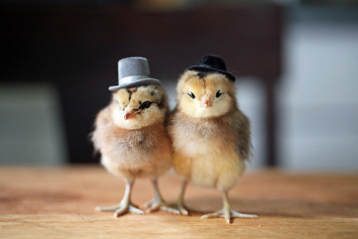 Chick couple