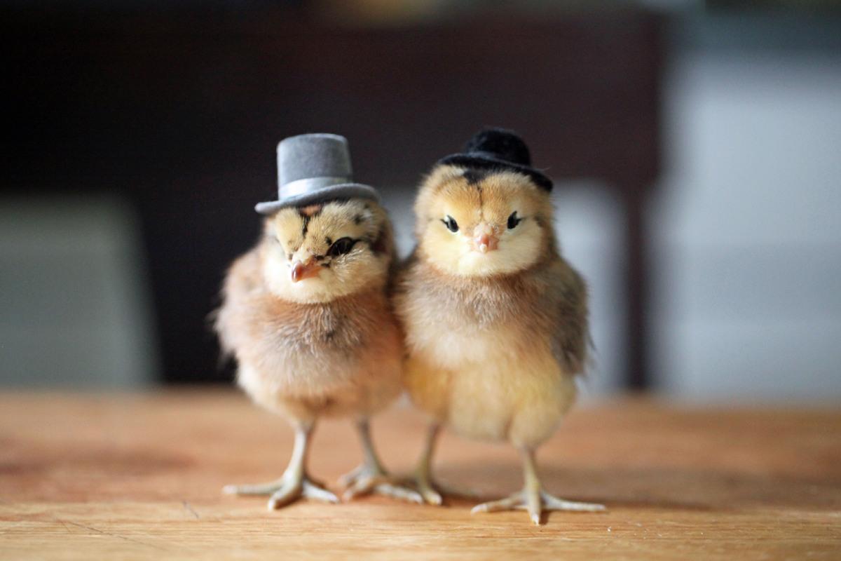 Chick couple