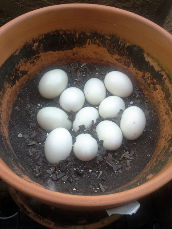 Soon there were eleven little eggies.