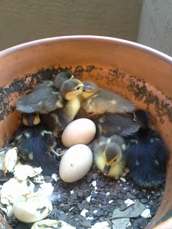 Then the ducklings started to hatch.