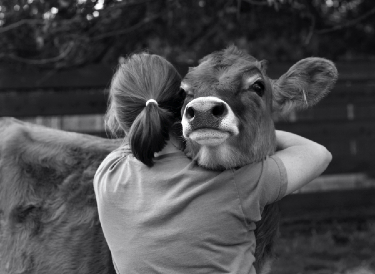 Cow gives girl hug