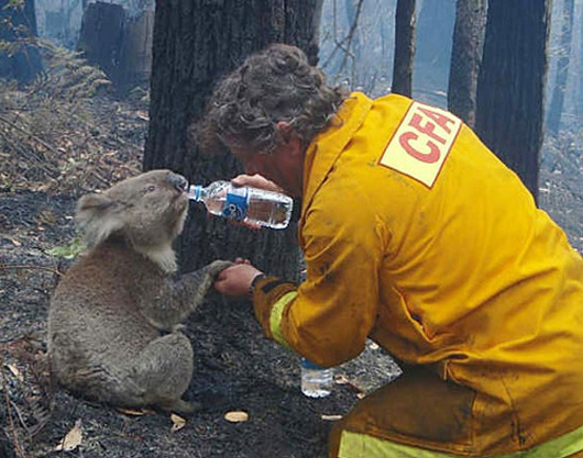 Humanity- Firefighter giving water to koala