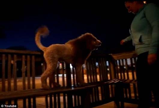 You HAVE to See The World's First Lion Dog - He's So Cute!