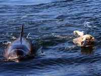 Labrador Swims with his Best Friend - a Dolphin