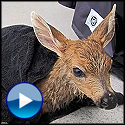 A Fawn Rescue That Will Touch Your Heart