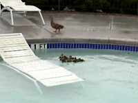 Watch What Mommy Duck Does When her Ducklings Get Stuck in a Pool - This is Great!