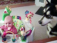 How a Siberian Husky Stops a Baby From Crying