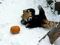 Red Panda Playing with a Pumpkin Will Make Your Day