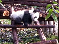 A Panda Climbing a Ladder to Make You Smile Today