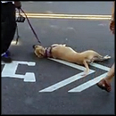 A Dog Collapses in the Street from the Heat - But Watch This