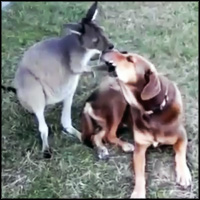 Dog and Kangaroo Make the Cutest Best Friends