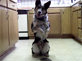 Smart Dog Knows Amazing Tricks You've Never Seen Before! Click Here to See! <img src=