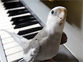 Incredibly Smart Bird Sings a Cute Duet with Owner... Just Too Precious