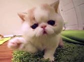 Did That Kitten Just Bark?! Watch What This Hilarious Kitty Does - It's Too Funny.