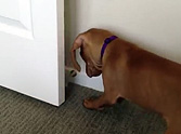 Excited Puppy Discovers a Door Stop... and Does Something Adorable =)