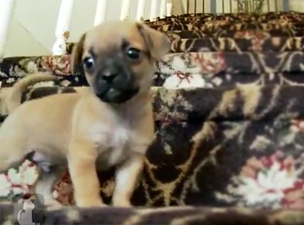Brave Puppy Attempts Going Down Stairs - and Supreme Cuteness Ensues :)