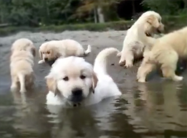 Fluffy Puppies Swim For The Very First