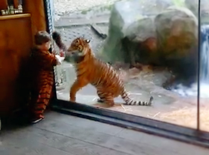Tiger Cub and Little Boy Play at the Zoo - It's the Cutest Thing