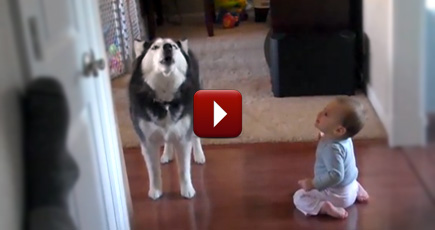 Husky and adorable baby sing together cute video