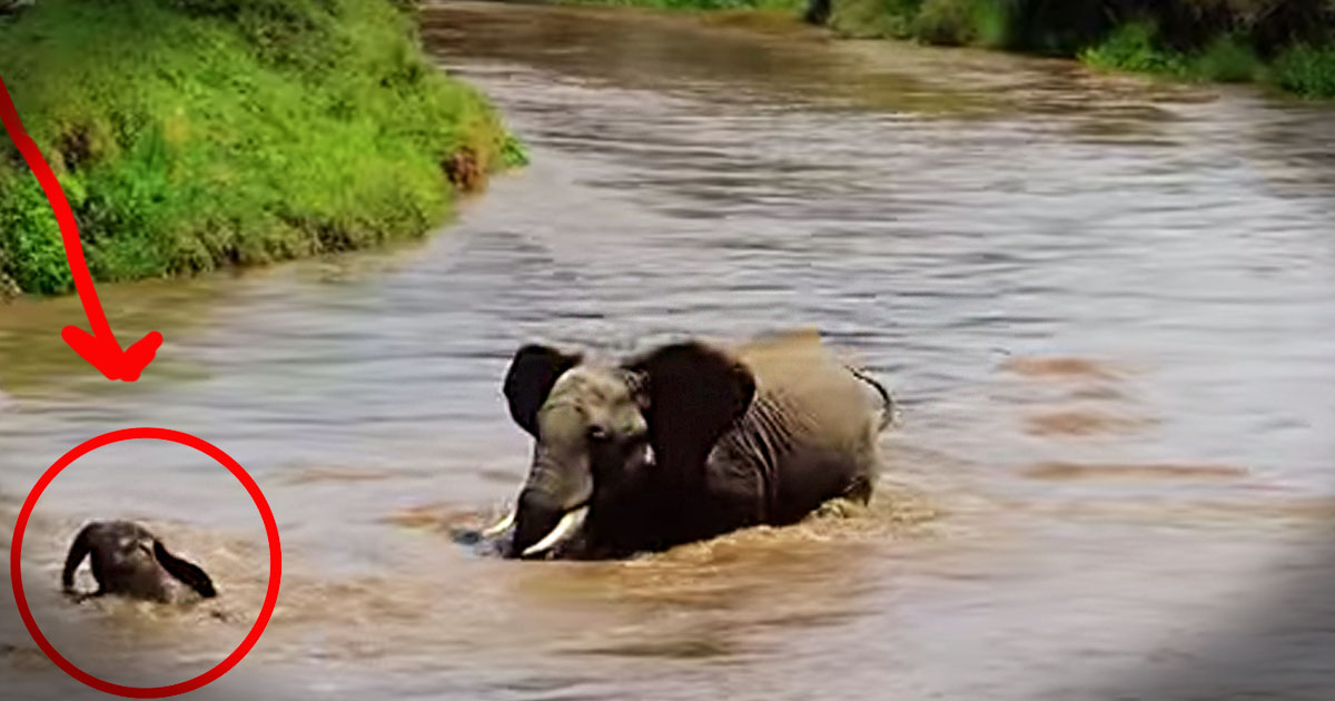 Baby elephant is rescued from dangerous river animals video