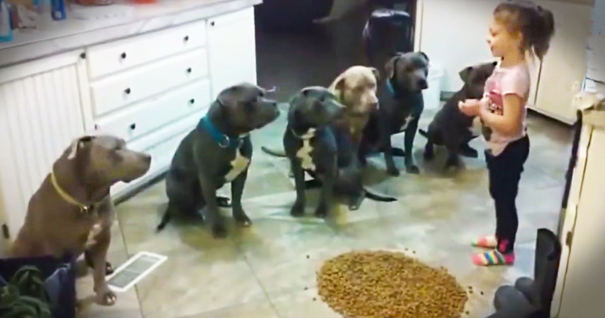 Adorable 4-Year-Old Feeds A Family of 6 Pit Bulls