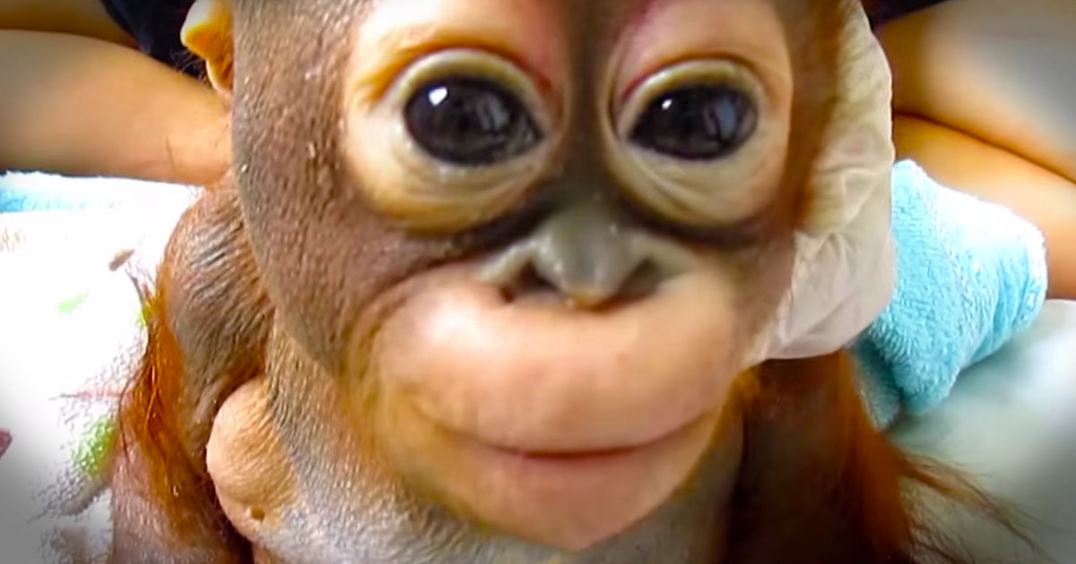 Baby orangutan's paternity tests stuns researchers at ...