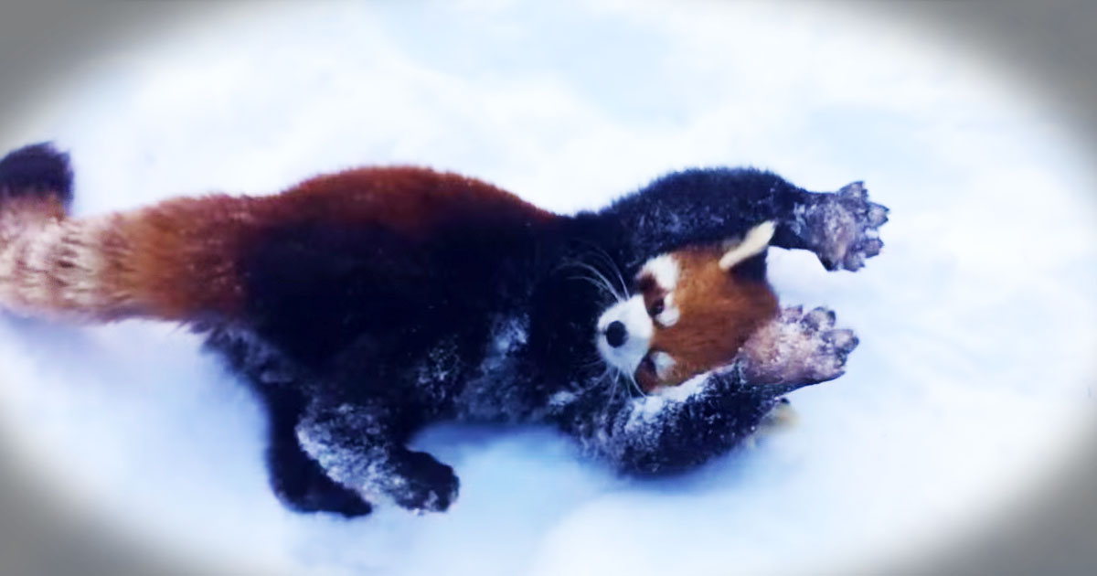 Who Else Could Watch These Red Pandas ALL DAY--Aww!