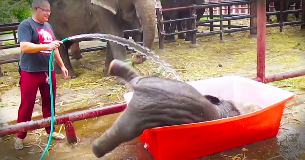 rescued baby elephant dives into bath tub animals video. Black Bedroom Furniture Sets. Home Design Ideas