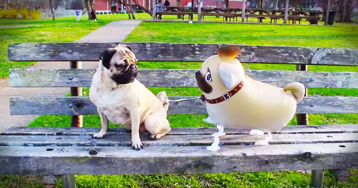Doug the pug has an unusual best friend and their antics had me doug the pug has an unusual best friend and their antics had me giggling out of control m4hsunfo