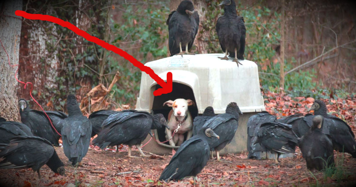 A Chained Dog Surrounded By Vultures Has Found A Loving Home!