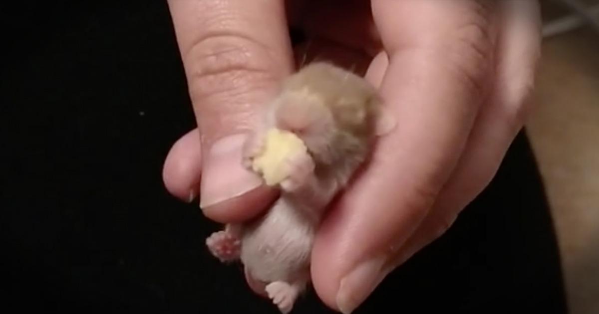 Baby Hamster's Sleepy Snack Is The Cutest