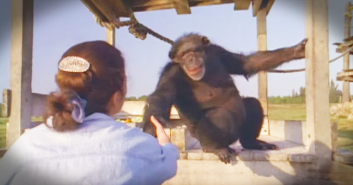 Chimpanzees Emotional Reunion With The Woman Who Rescued Them 18 Years Ago