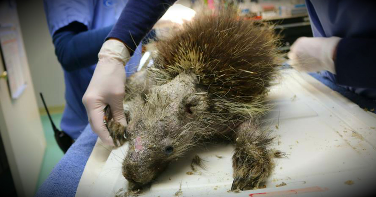 Porcupine Ailed By Skin Disease Is Treated And Returned To Wild