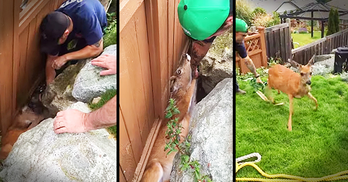 Deer Rescued From Between A Rock And A Fence Animals Video