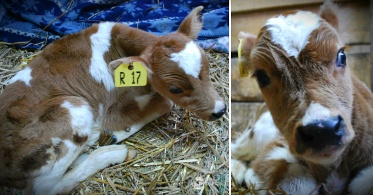Neglected Calf Got Mocked At Auction, But Then A Woman Saved Him