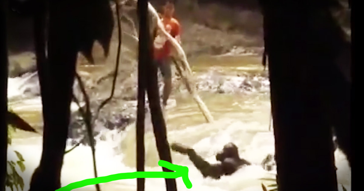 Orangutan Clinging For Life In Rushing Water Gets An Emotional Rescue