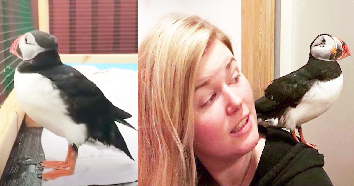 Kind Woman Rescues Injured Blind Puffin Bird
